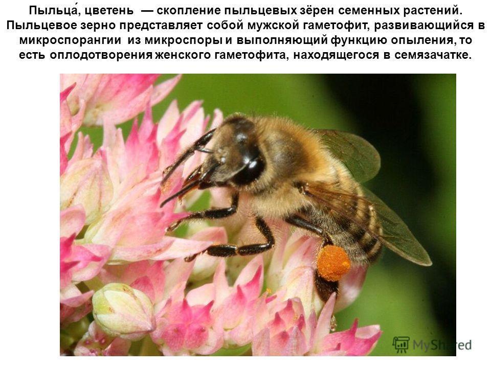 Пыльца́, цветень скопление пыльцевых зёрен семенных растений. Пыльцевое зерно представляет собой мужской гаметофит, развивающийся в микроспорангии из микроспоры и выполняющий функцию опыления, то есть оплодотворения женского гаметофита, находящегося
