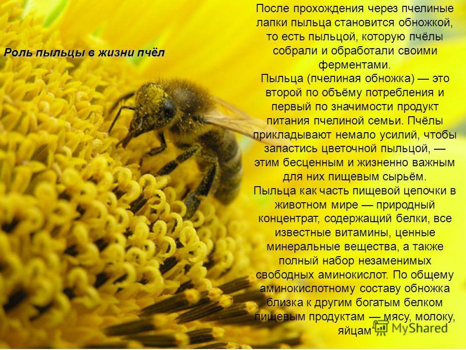 Роль пыльцы в жизни пчёл После прохождения через пчелиные лапки пыльца становится обножкой, то есть пыльцой, которую пчёлы собрали и обработали своими ферментами. Пыльца (пчелиная обножка) это второй по объёму потребления и первый по значимости проду