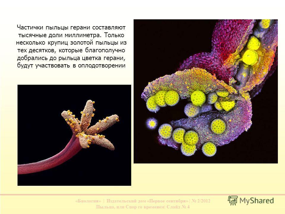 «Биология» | Издательский дом «Первое сентября» | 2/2012 Пыльца, или Спор со временем| Слайд 4 Частички пыльцы герани составляют тысячные доли миллиметра. Только несколько крупиц золотой пыльцы из тех десятков, которые благополучно добрались до рыльц
