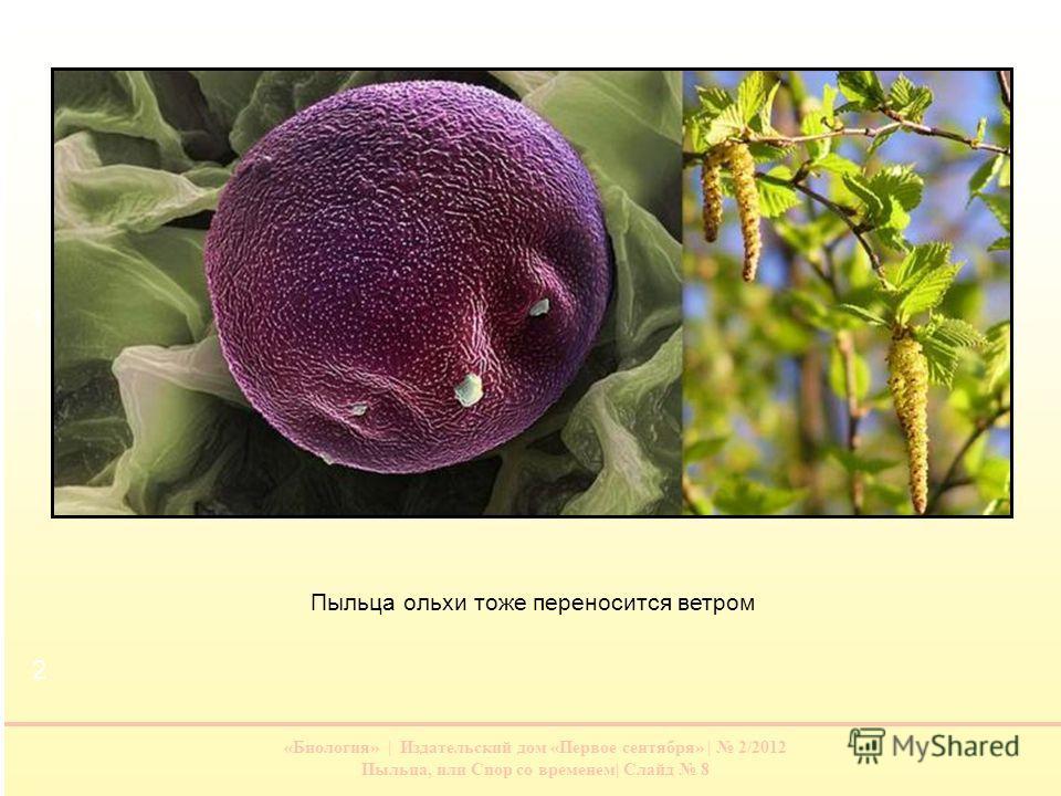 «Биология» | Издательский дом «Первое сентября» | 2/2012 Пыльца, или Спор со временем| Слайд 8 Пыльца ольхи тоже переносится ветром 1 2