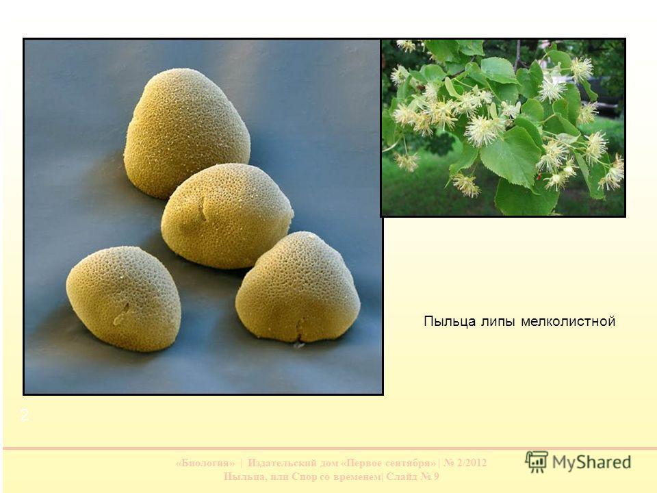 «Биология» | Издательский дом «Первое сентября» | 2/2012 Пыльца, или Спор со временем| Слайд 9 Пыльца липы мелколистной 1 2