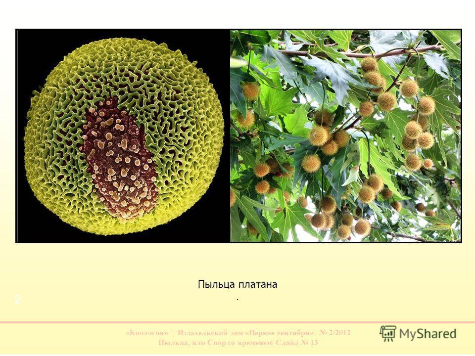 «Биология» | Издательский дом «Первое сентября» | 2/2012 Пыльца, или Спор со временем| Слайд 13 Пыльца платана. 1 2