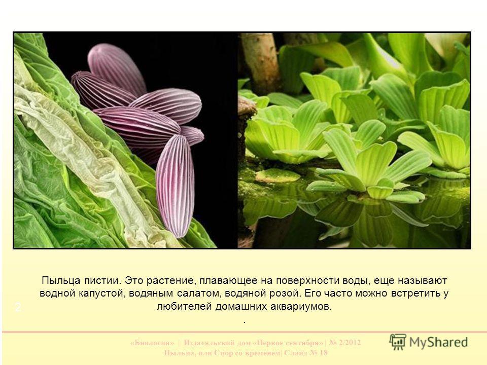 «Биология» | Издательский дом «Первое сентября» | 2/2012 Пыльца, или Спор со временем| Слайд 18 Пыльца пистии. Это растение, плавающее на поверхности воды, еще называют водной капустой, водяным салатом, водяной розой. Его часто можно встретить у люби
