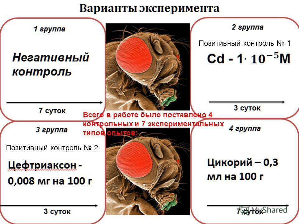 Цефтриаксон - 0,008 мг на 100 г 3 группа 3 суток Варианты эксперимента 7 суток 1 группа Негативный контроль 2 группа 3 суток 4 группа 7 суток Цикорий – 0,3 мл на 100 г Позитивный контроль 1 Позитивный контроль 2 Всего в работе было поставлено 4 контр