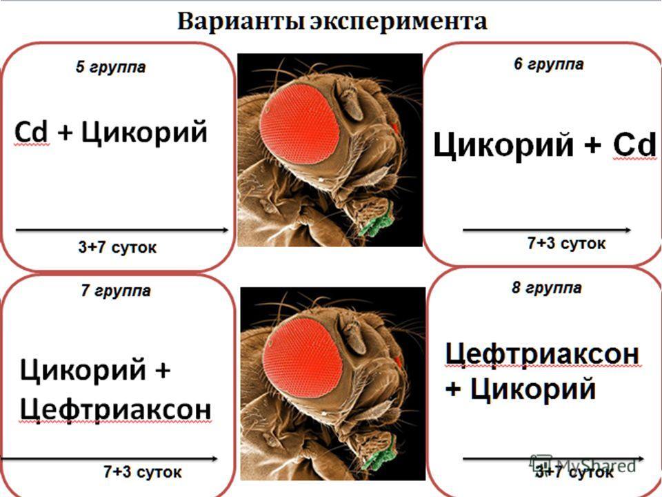 Цикорий + Цефтриаксон 7 группа 7+3 суток Варианты эксперимента 3+7 суток 5 группа 6 группа 7+3 суток 8 группа 3+7 суток Cd + Цикорий Цикорий + Cd Цефтриаксон + Цикорий