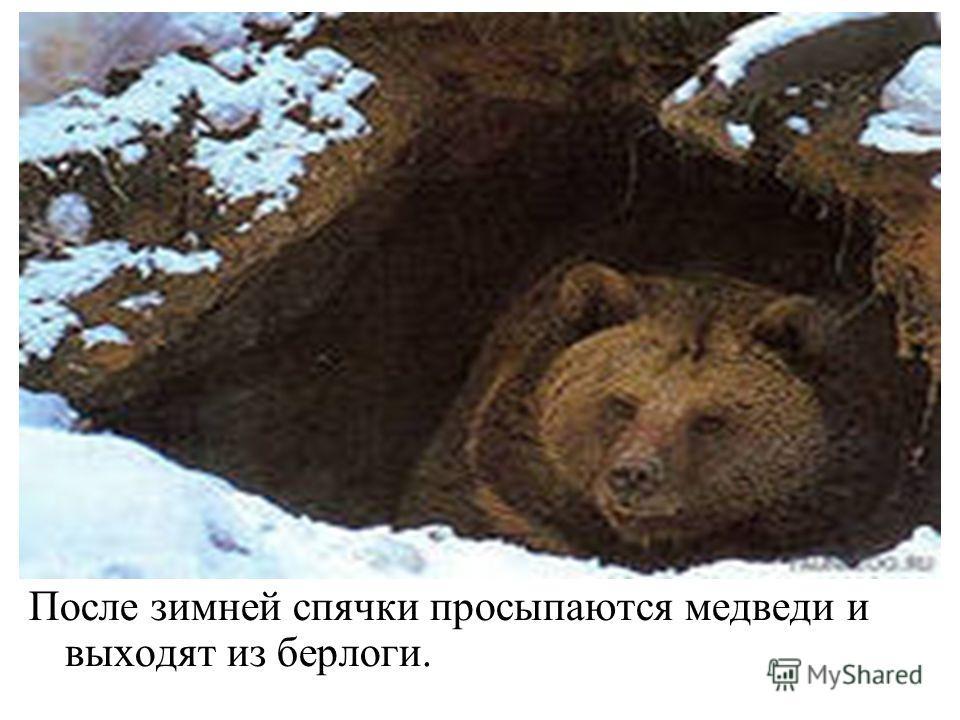 После зимней спячки просыпаются медведи и выходят из берлоги.