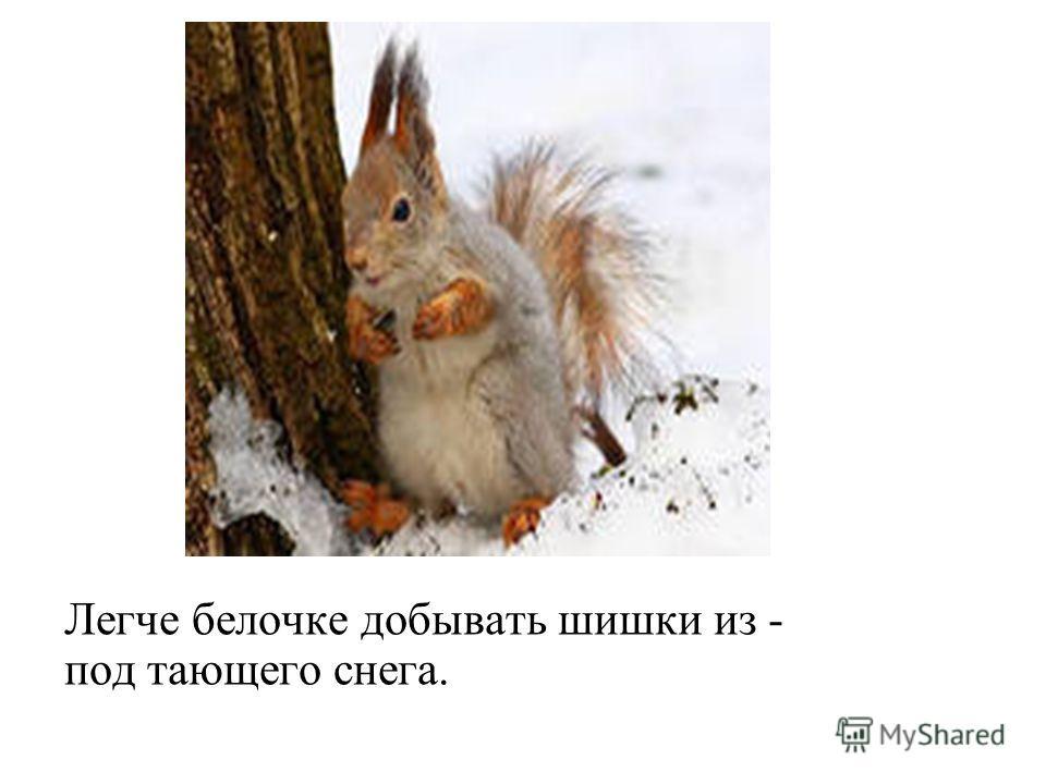 Легче белочке добывать шишки из - под тающего снега.