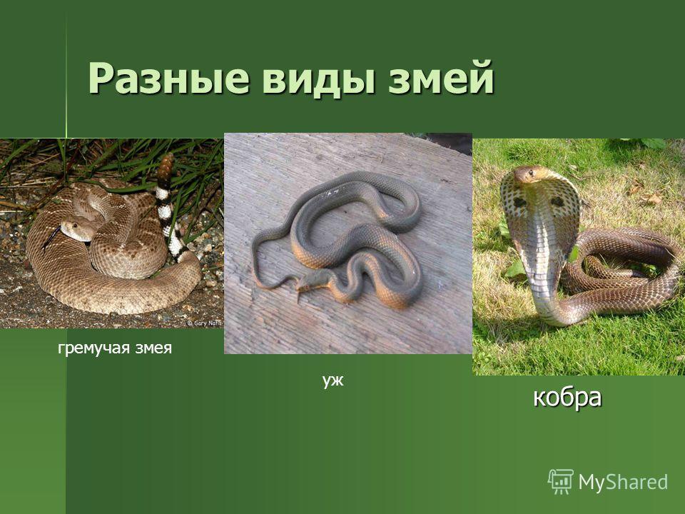 Змеи У ядовитых змей одна из слюнных желез вырабатывает вещество, опасное для жертвы. Это вещество змеиный яд. Яд некоторых змей настолько опасен, что может убить слона. У других это вещество не на столько ядовито. Им можно убить только маленькую яще