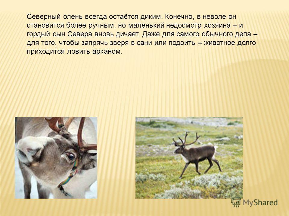 Северный олень всегда остаётся диким. Конечно, в неволе он становится более ручным, но маленький недосмотр хозяина – и гордый сын Севера вновь дичает. Даже для самого обычного дела – для того, чтобы запрячь зверя в сани или подоить – животное долго п
