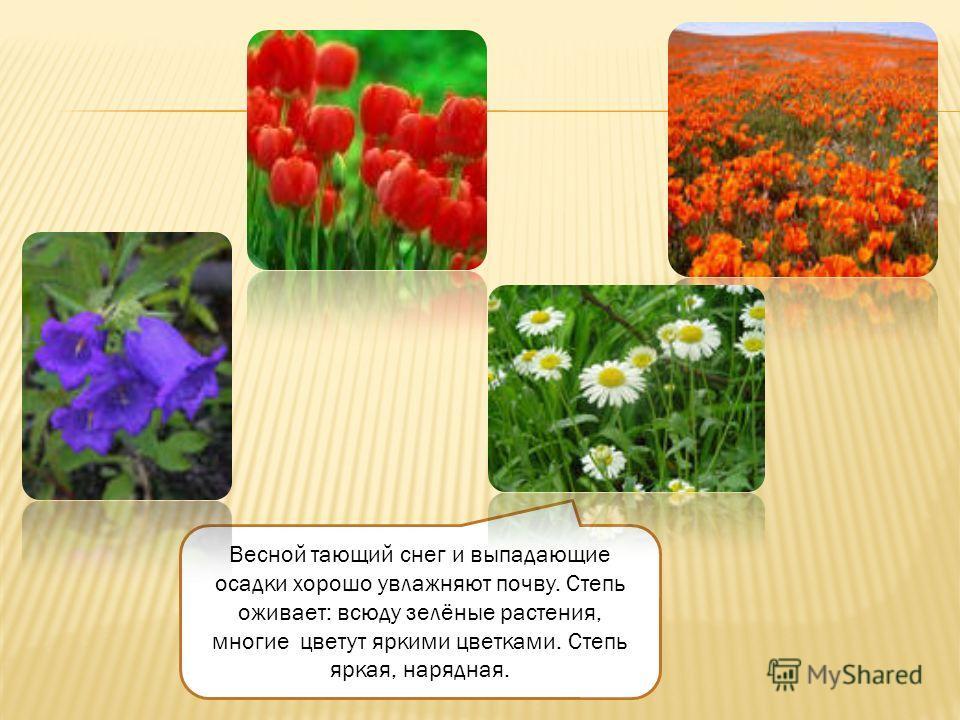 Весной тающий снег и выпадающие осадки хорошо увлажняют почву. Степь оживает: всюду зелёные растения, многие цветут яркими цветками. Степь яркая, нарядная.