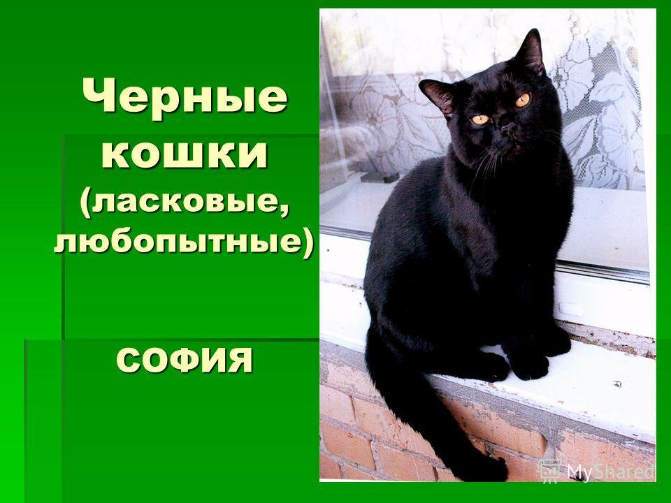 Черные кошки (ласковые, любопытные) СОФИЯ