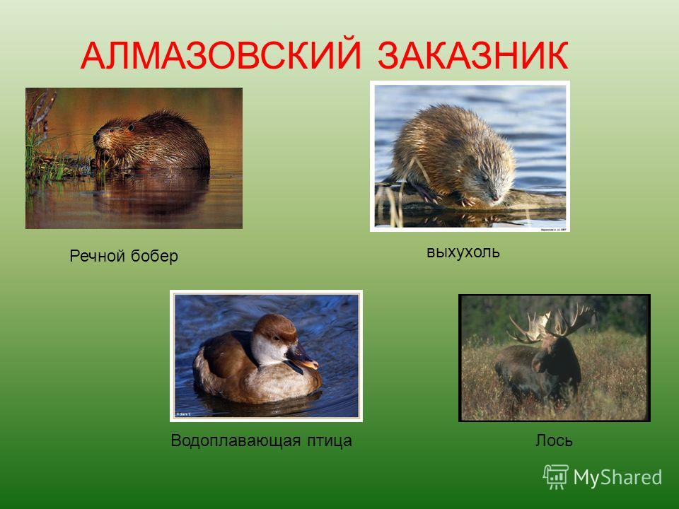 Речной бобер выхухоль Водоплавающая птица Лось АЛМАЗОВСКИЙ ЗАКАЗНИК