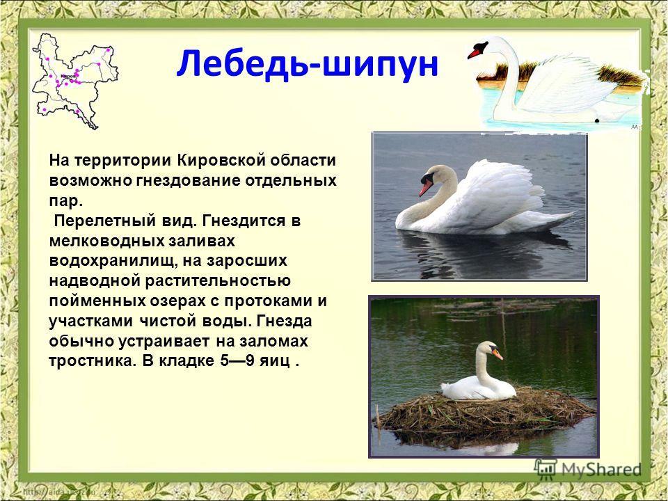 Лебедь-шипун На территории Кировской области возможно гнездование отдельных пар. Перелетный вид. Гнездится в мелководных заливах водохранилищ, на заросших надводной растительностью пойменных озерах с протоками и участками чистой воды. Гнезда обычно у