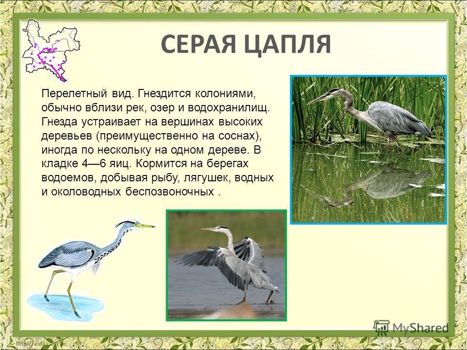 СЕРАЯ ЦАПЛЯ Перелетный вид. Гнездится колониями, обычно вблизи рек, озер и водохранилищ. Гнезда устраивает на вершинах высоких деревьев (преимущественно на соснах), иногда по нескольку на одном дереве. В кладке 46 яиц. Кормится на берегах водоемов, д