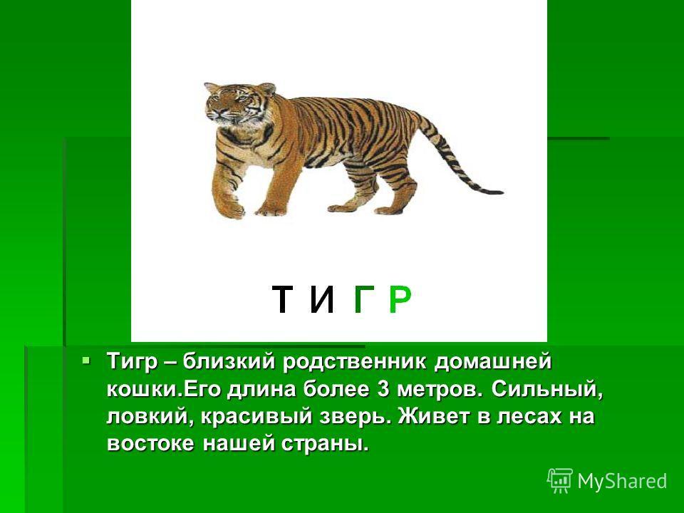 Тигр – близкий родственник домашней кошки.Его длина более 3 метров. Сильный, ловкий, красивый зверь. Живет в лесах на востоке нашей страны. Тигр – близкий родственник домашней кошки.Его длина более 3 метров. Сильный, ловкий, красивый зверь. Живет в л