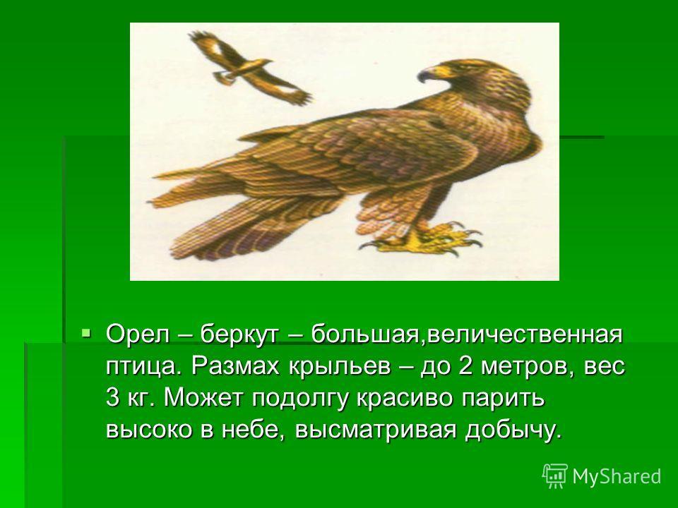 Орел – беркут – большая,величественная птица. Размах крыльев – до 2 метров, вес 3 кг. Может подолгу красиво парить высоко в небе, высматривая добычу. Орел – беркут – большая,величественная птица. Размах крыльев – до 2 метров, вес 3 кг. Может подолгу