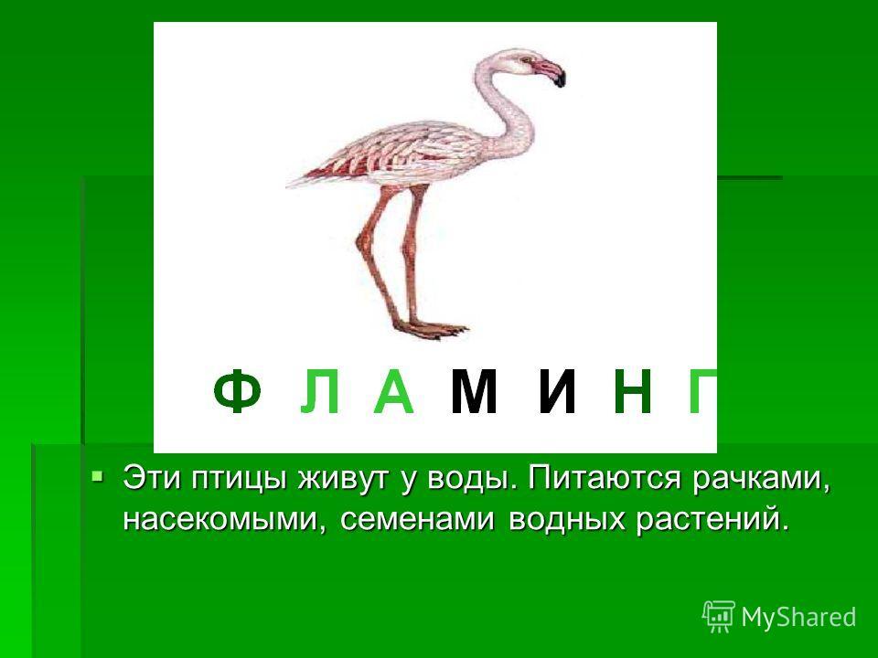 Эти птицы живут у воды. Питаются рачками, насекомыми, семенами водных растений. Эти птицы живут у воды. Питаются рачками, насекомыми, семенами водных растений.