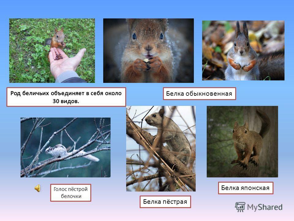 Голос пёстрой белочки Белка японская Белка пёстрая Белка обыкновенная Род беличьих объединяет в себя около 30 видов.