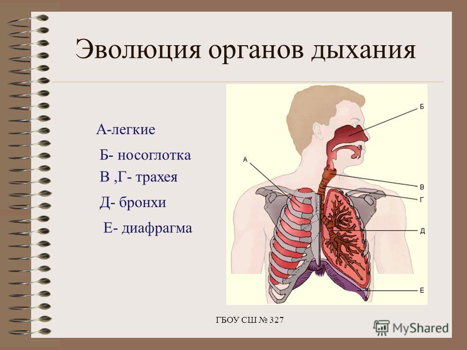 ГБОУ СШ 327 А-легкие Б- носоглотка В,Г- трахея Д- бронхи Е- диафрагма