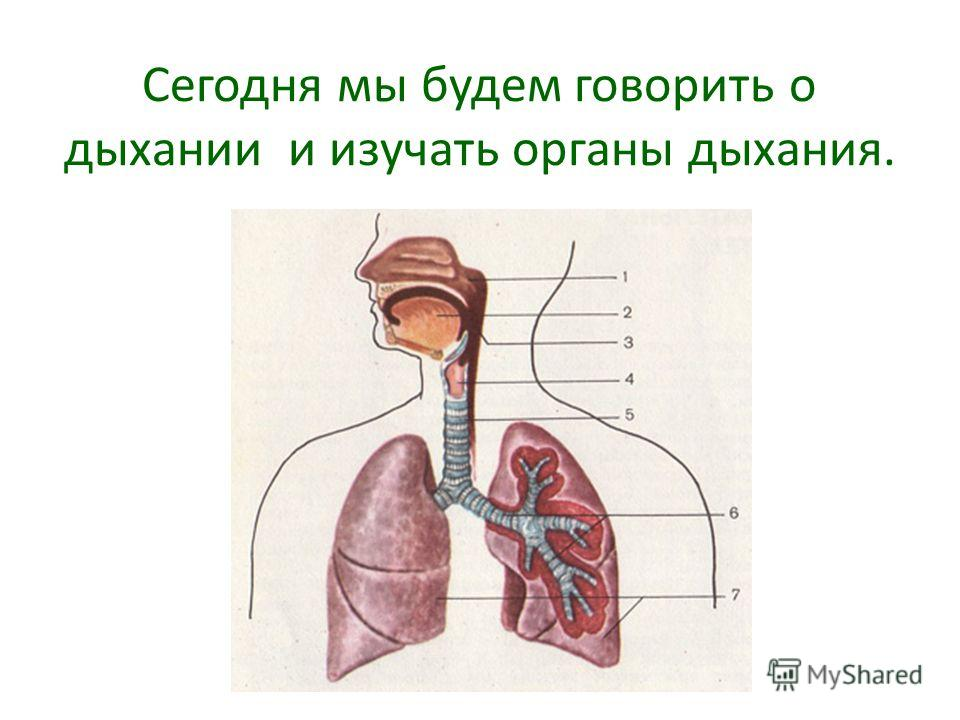 Сегодня мы будем говорить о дыхании и изучать органы дыхания.