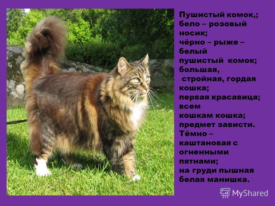 Пушистый комок,; бело – розовый носик; чёрно – рыже – белый пушистый комок; большая, стройная, гордая кошка; первая красавица; всем кошкам кошка; предмет зависти. Тёмно – каштановая с огненными пятнами; на груди пышная белая манишка.