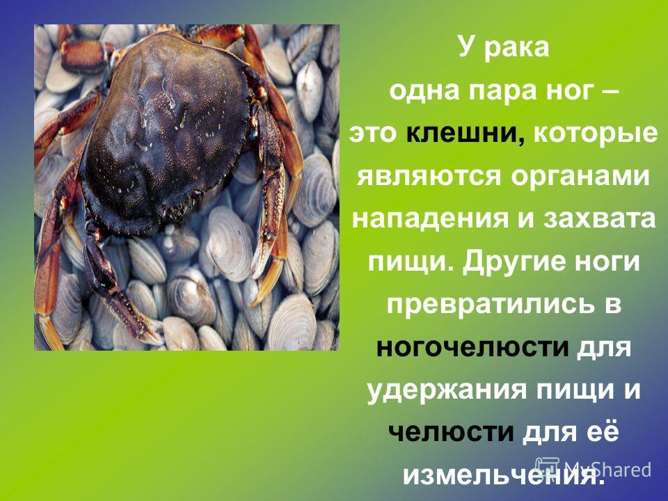 Большой прудовик ползёт по водяному растению, время от времени высовывая язык, и как тёркой соскребает мягкие части растений.