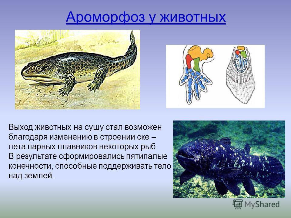 Ароморфоз у животных Выход животных на сушу стал возможен благодаря изменению в строении скелета парных плавников некоторых рыб. В результате сформировались пятипалые конечности, способные поддерживать тело над землей.