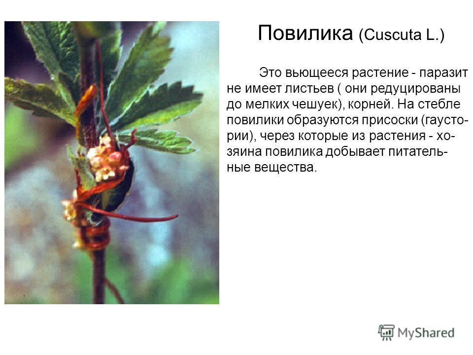 Повилика (Cuscuta L.) Это вьющееся растение - паразит не имеет листьев ( они редуцированы до мелких чешуек), корней. На стебле повилики образуются присоски (гаусто- речи), через которые из растения - хозяина повилика добывает питательные вещества.