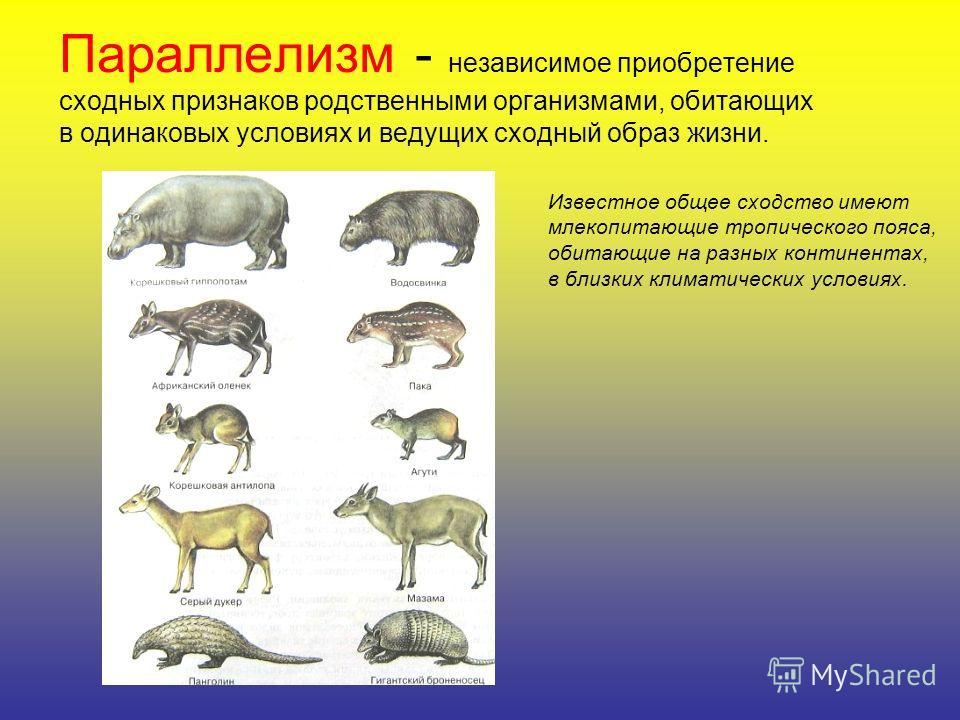 Параллелизм - независимое приобретение сходных признаков родственными организмами, обитающих в одинаковых условиях и ведущих сходный образ жизни. Известное общее сходство имеют млекопитающие тропического пояса, обитающие на разных континентах, в близ