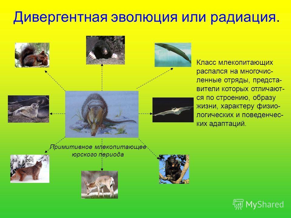 Дивергентная эволюция или радиация. Класс млекопитающих распался на многочисленные отряды, представители которых отличают- ся по строению, образу жизни, характеру физиологических и поведенческих адаптаций. Примитивное млекопитающее юрского периода