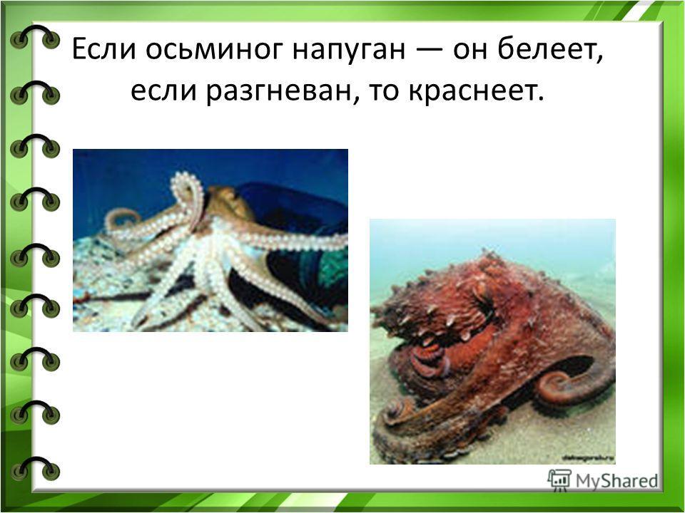 Если осьминог напуган он белеет, если разгневан, то краснеет.