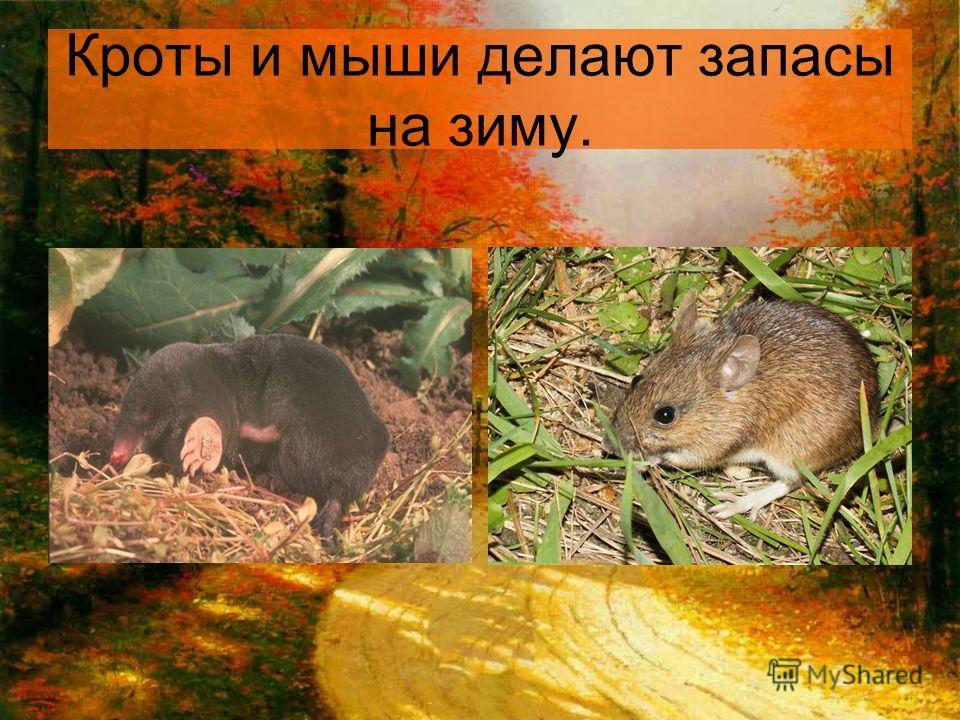 Кроты и мыши делают запасы на зиму.