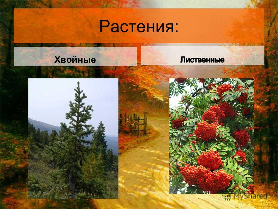 Растения: Хвойные
