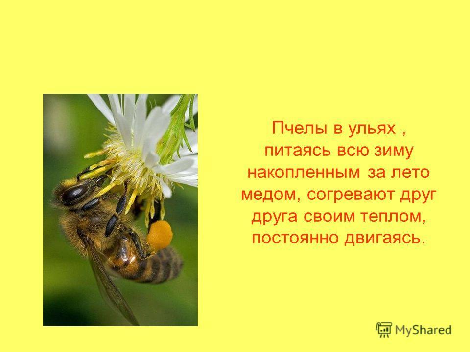 Пчелы в ульях, питаясь всю зиму накопленным за лето медом, согревают друг друга своим теплом, постоянно двигаясь.