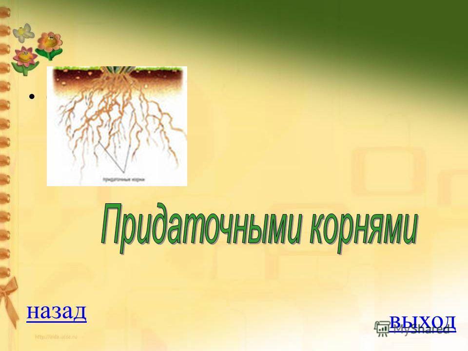 Вопрос на 300 баллов Мочковатая корневая система образована: 1. главными корнями 2. придаточными корнями 3. корневищами 4. всеми этими органами ОТВЕТ