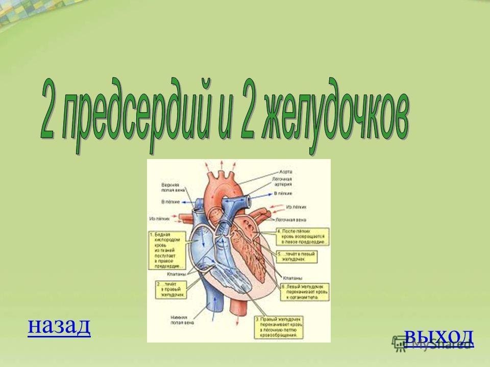 ОТВЕТ Вопрос на 500 баллов Сердце человека состоит из 1. 2 предсердий и 1 желудочка 2. 1 предсердия и 1 желудочка 3. 1 предсердия и 2 желудочков 4. 2 предсердий и 2 желудочков