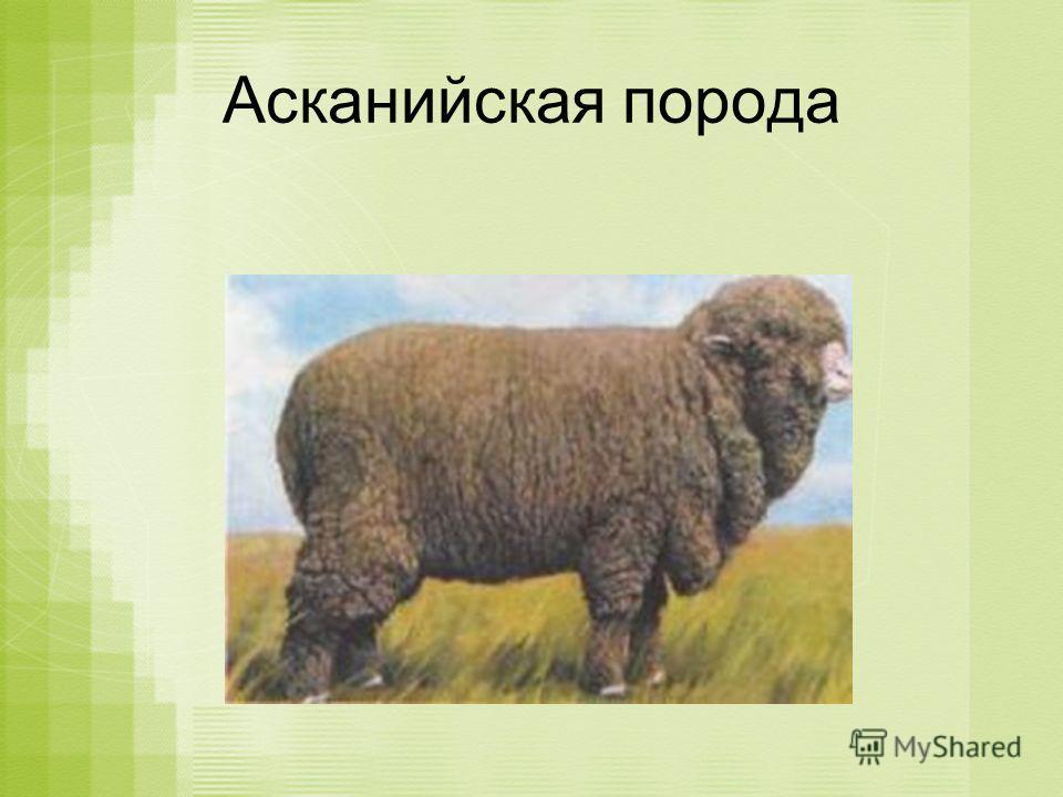Асканийская порода