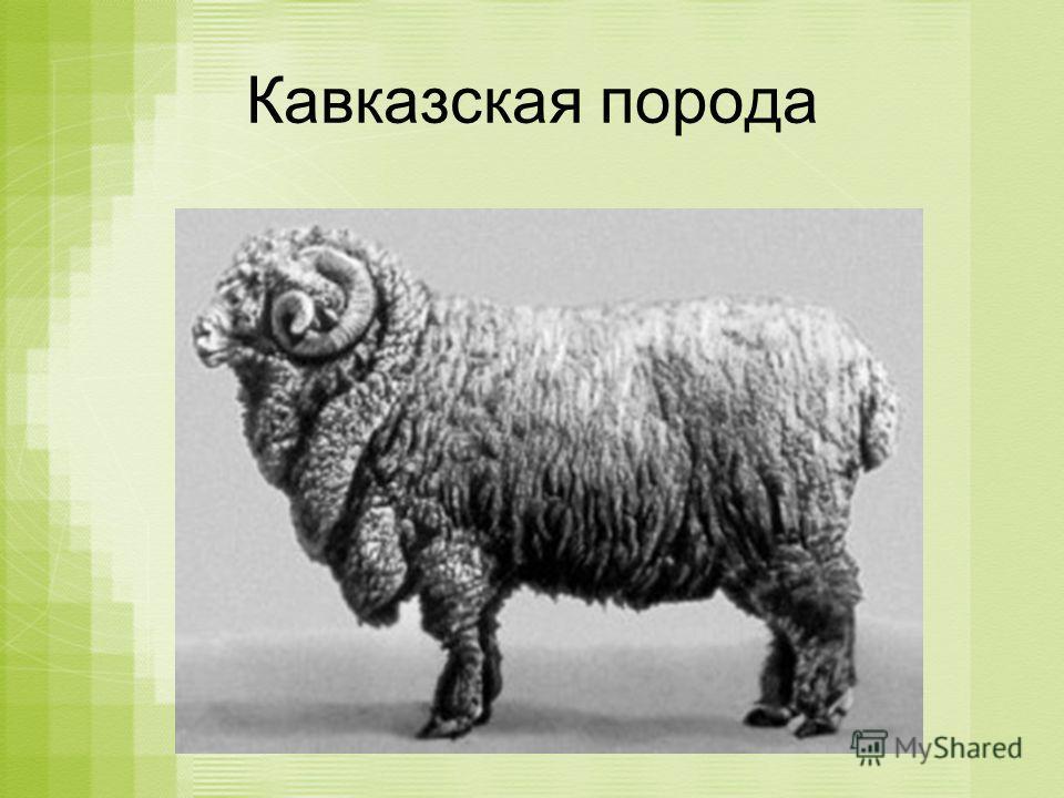 Кавказская порода
