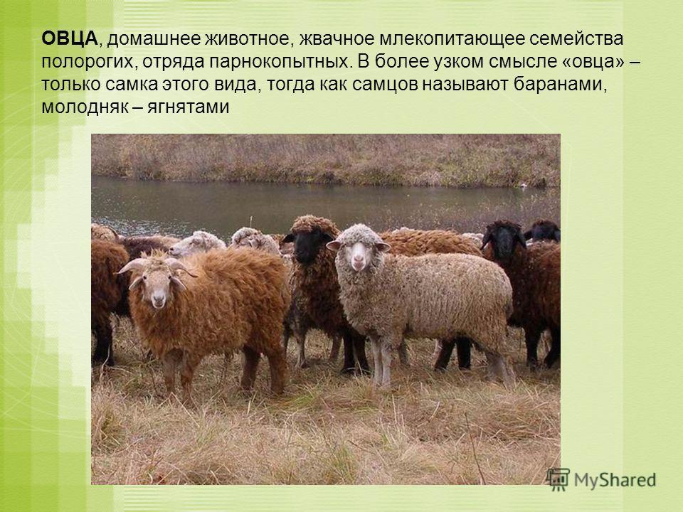 ОВЦА, домашнее животное, жвачное млекопитающее семейства полорогих, отряда парнокопытных. В более узком смысле «овца» – только самка этого вида, тогда как самцов называют баранами, молодняк – ягнятами