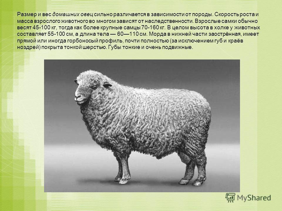 Размер и вес домашних овец сильно различается в зависимости от породы. Скорость роста и масса взрослого животного во многом зависят от наследственности. Взрослые самки обычно весят 45-100 кг, тогда как более крупные самцы 70-160 кг. В целом высота в