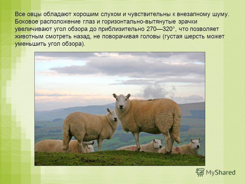 Все овцы обладают хорошим слухом и чувствительны к внезапному шуму. Боковое расположение глаз и горизонтально-вытянутые зрачки увеличивают угол обзора до приблизительно 270320°, что позволяет животным смотреть назад, не поворачивая головы (густая шер