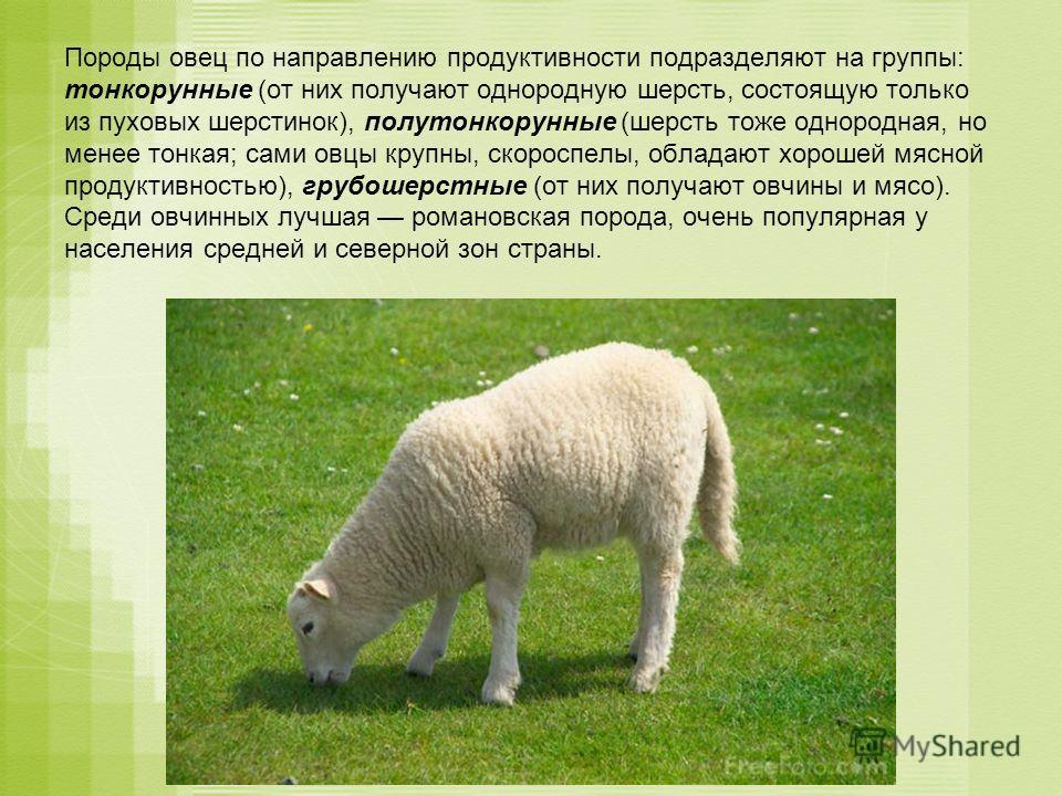 Породы овец по направлению продуктивности подразделяют на группы: тонкорунные (от них получают однородную шерсть, состоящую только из пуховых шерстинок), полутонкорунные (шерсть тоже однородная, но менее тонкая; сами овцы крупны, скороспелы, обладают