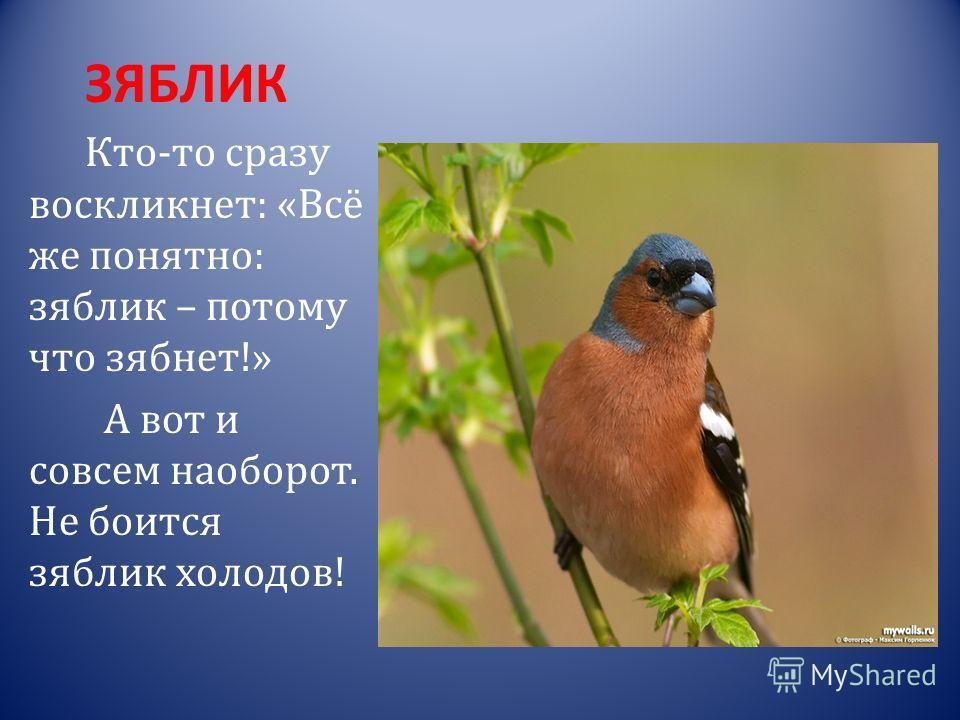 КЛЁСТ Если взглянуть на клюв этой птицы, то сразу же станет понятно, почему ей дали такое название. Клюв у клеста загнут крест- накрест.