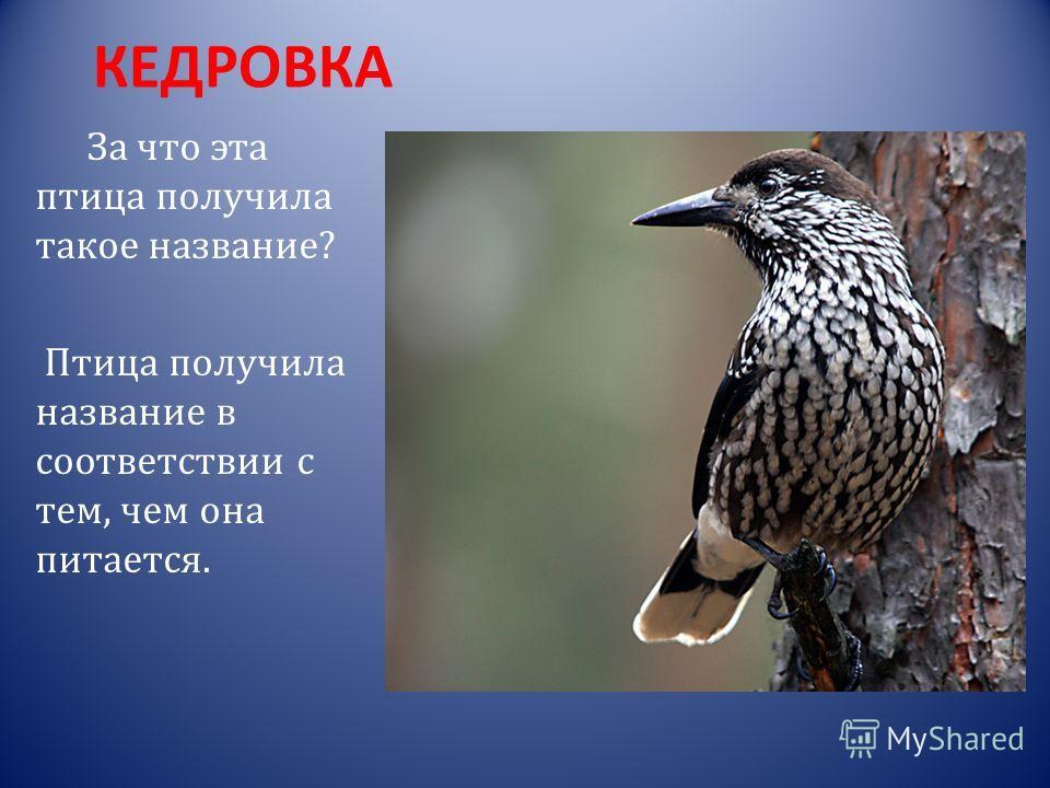 ИВОЛГА Слово иволга произошло от общеславянского слова «волга», которое является родственным слову влага.