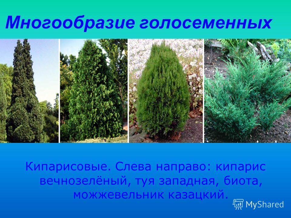 Многообразие голосеменных Кипарисовые. Слева направо: кипарис вечнозелёный, туя западная, биота, можжевельник казацкий.
