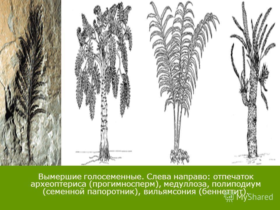 Вымершие голосеменные. Слева направо: отпечаток археоптериса (прогимносперм), медуллоза, полиподиум (семенной папоротник), вильямсония (беннеттит).