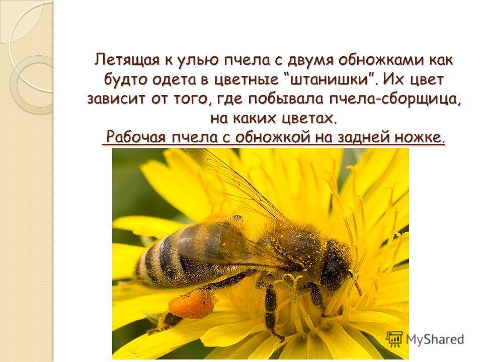 Летящая к улью пчела с двумя обножками как будто одета в цветные штанишки. Их цвет зависит от того, где побывала пчела-сборщица, на каких цветах. Рабочая пчела с обножкой на задней ножке.