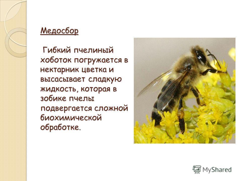 Медосбор Гибкий пчелиный хоботок погружается в нектарник цветка и высасывает сладкую жидкость, которая в зобике пчелы подвергается сложной биохимической обработке.