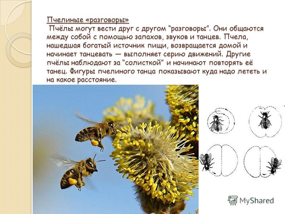 Пчелиные «разговоры» Пчёлы могут вести друг с другом разговоры. Они общаются между собой с помощью запахов, звуков и танцев. Пчела, нашедшая богатый источник пищи, возвращается домой и начинает танцевать выполняет серию движений. Другие пчёлы наблюда