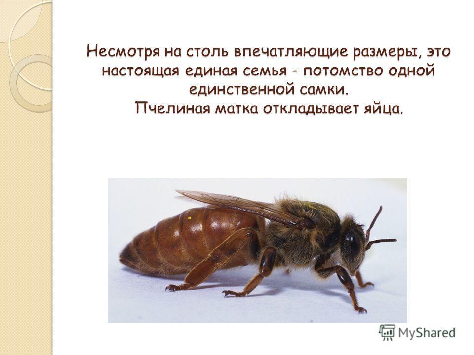 Несмотря на столь впечатляющие размеры, это настоящая единая семья - потомство одной единственной самки. Пчелиная матка откладывает яйца.